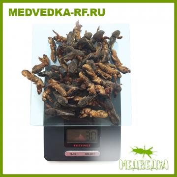 Российская медведка 1 курс (30 г.) + бонус.
