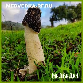 Настойка гриба веселки (100мл)