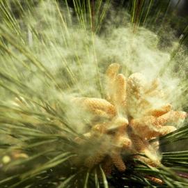 Пыльца сосны 1 курс